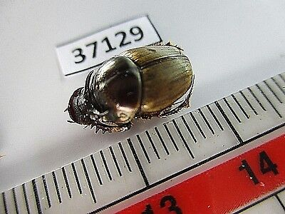 37129.Unmounted insects: Scarabaeidae. South Vietnam