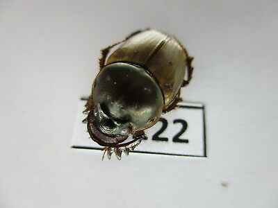 37122.Unmounted insects: Scarabaeidae. South Vietnam