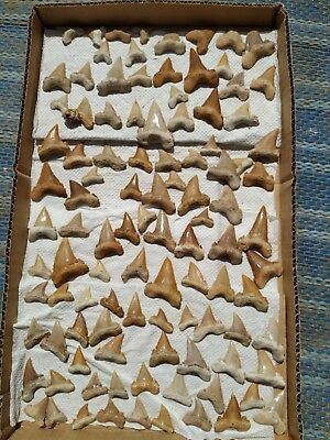 Z1 - Top Collection of 103 Serrated PALAEOCARCHARODON Pygmy White Shark Teeth