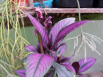 Persian shield Strobilanthes dyeriana rooty cutting - living plant