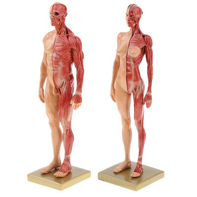 11'' Male Female Muscle Skeleton Anatomy Model Human Anatomy Model Skincolor