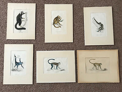 Six monkey/primate prints from Jardine's Naturalist Library