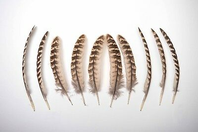 Natural Female Pheasant Wing Feathers Brown Striped - 12-15cm- Ethically Sourced