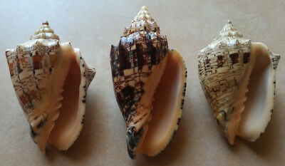 SHELLS CONCHIGLIE SET OF 3 VOLUTA EBRAEA mm.119,6 mm.100,2 mm.98,4 BRAZIL