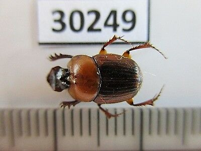 30249.Unmounted insects, Scarabaeidae. From South Vietnam