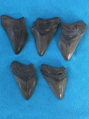 "Lot Of 5 Megalodon Tooth 2.424""-2.540"" Fossil Extinct Prehistoric Shark Teeth"