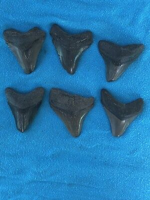 "Lot Of 6 Megalodon Tooth 2.009""-2.335"" Fossil Extinct Prehistoric Shark Teeth"