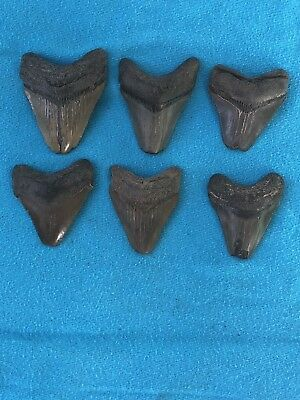 "Lot Of 6 Megalodon Tooth 1.814""-2.191"" Fossil Extinct Prehistoric Shark Teeth"