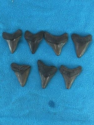 "Lot Of 7 Megalodon Tooth 1.479""-1.736"" Fossil Extinct Prehistoric Shark Teeth"