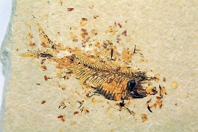 Fossil Fish from Wyoming • Diplomystus dentatus #1817 • 3.25 Inches
