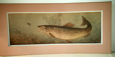 Salmon Biting 19th century hand etching and hand coloured large picture .