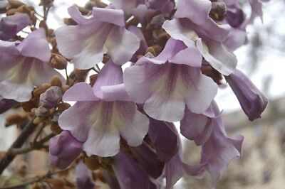 Paulownia Tomentosa Lavender Lilac Foxglove Tree Fast Growing Emperor Shade Seed