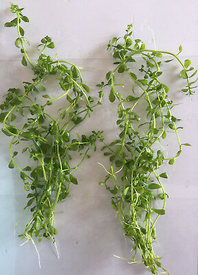 10 Bacopa monnieri MONEYWORT - Live Aquarium Plants (UK grown)