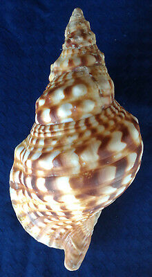 SHELL CONCHIGLIA CHARONIA LAMPAS mm.256 W/O GREECE