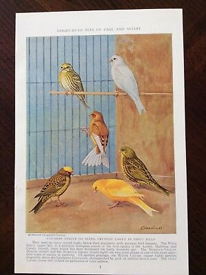 1938 color magazine art print Bright-Hued Pets of Cage and Aviary
