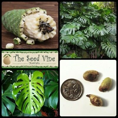 5 SWISS CHEESE PLANT SEEDS (Monstera deliciosa) Edible Fruit Hardy Indoor