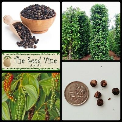 10+ ORGANIC BLACK PEPPER SEEDS (Piper nigrum) Grow Your Own Spice Tropical