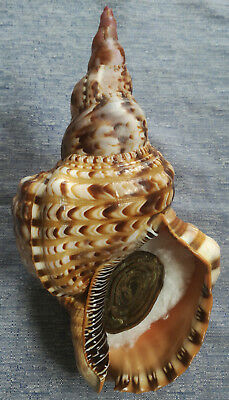 SHELL CONCHIGLIA CHARONIA VARIEGATA mm.260+ W/O BRAZIL