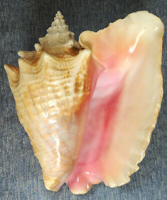 SHELL CONCHIGLIA STROMBUS GIGAS with CITES mm.236 HAITI