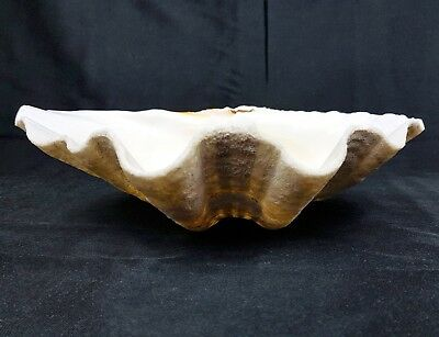 "Stunning 12"" LARGE ANTIQUE GIANT CLAM LARGE SEASHELL TRIDACNA GIGAS Garden Decor"