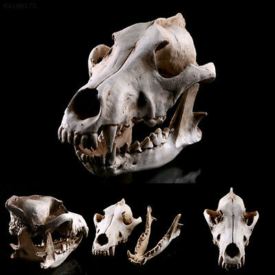 Wolf Skull Model Decor Movie Props Collection Handicrafts Home Decoration Decals