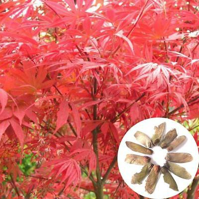 10x Red Japanese Maple Seeds Home Garden Plant Ideal For Bonsai Decoration