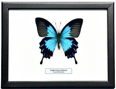 Real Papilio Ulysses Telegonus Butterfly In Framed Display: Insect Taxidermy