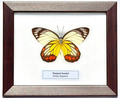 Real Delias Hyparete; Painted Jezebel Butterfly In Framed Display: Taxidermy