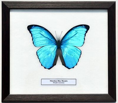 Real Morpho Menelaus; Menelaus Blue Morpho ( Male ) Butterfly: Framed