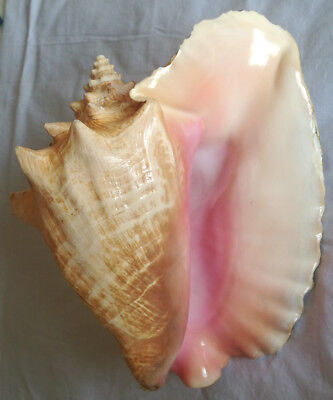 SHELL CONCHIGLIA STROMBUS GIGAS mm.240+ WITH CITES HAITI
