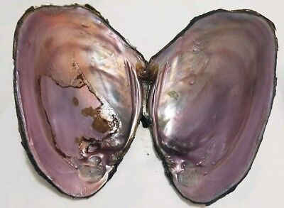 FRESH WATER MUSSEL SHELL 4 1/2 INCHES x2 CRAFT MOTHER OF PEARL INSIDE SMUDGE