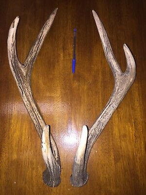 Deer Antlers - Matching Pair Naturally Cast