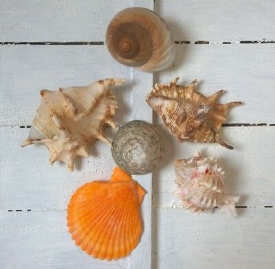 Assorted Mixed Seashells 6 Large Shells Snail Lambis Murex Trocha Yellow Scallop