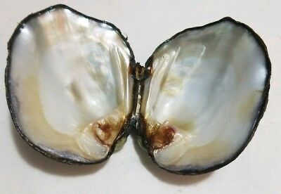 FRESH WATER MUSSEL SHELL 2.75INCHES x2 CRAFT MOTHER OF PEARL INSIDE SMUDGE SHELL