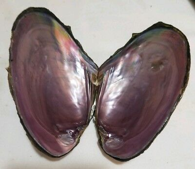 FRESH WATER MUSSEL SHELL 4 3/4 INCHES x2 CRAFT MOTHER OF PEARL INSIDE SMUDGE
