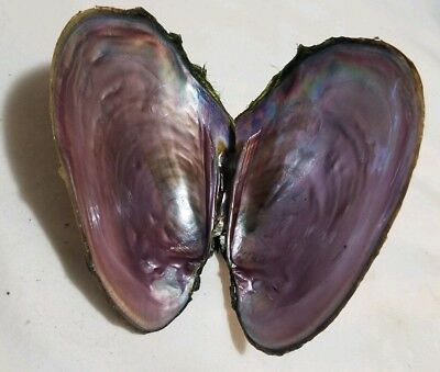 FRESH WATER MUSSEL SHELL 4  INCHES x2 CRAFT MOTHER OF PEARL INSIDE SMUDGE SHELL