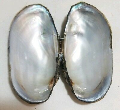 FRESH WATER MUSSEL SHELL 3 3/4 INCHES x2 CRAFT MOTHER OF PEARL INSIDE SMUDGE