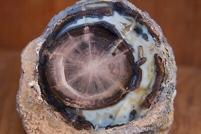 Blue Forest Petrified Wood Large Full Round Slab - 2 lbs 15 ounces! Excellent