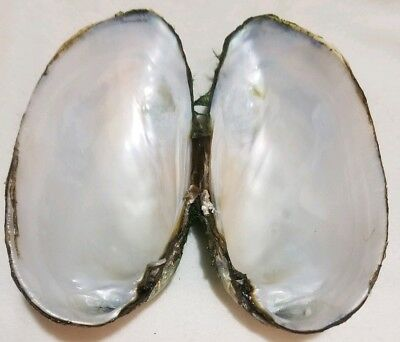 FRESH WATER MUSSEL SHELL 4 1/4  INCHES x2 CRAFT MOTHER OF PEARL INSIDE SMUDGE