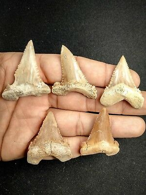A37 - Top Quality Collection of 5 PALAEOCARCHARODON (Pygmy White Shark) Teeth