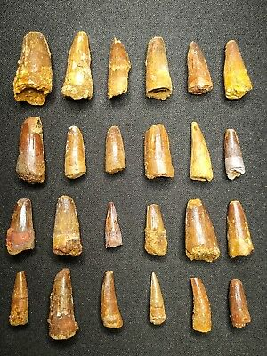 V25 - Top Collection of 24 Juvenile SPINOSAURUS Dinosaur Teeth Cretaceous