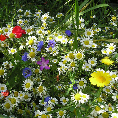 80/20 Wild Flower Seed Sunshine Meadow Mix Wildlife Annual Plants Instant