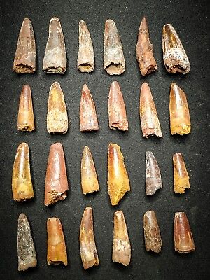V26 - Top Collection of 24 Juvenile SPINOSAURUS Dinosaur Teeth Cretaceous