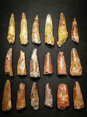 V27 - Top Collection of 18 SPINOSAURUS Dinosaur Teeth Cretaceous