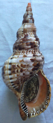 SHELL CONCHIGLIA CHARONIA VARIEGATA f.sequenzae mm.260 W/O GREECE