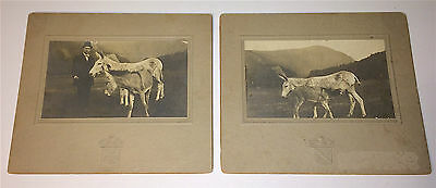 Pair of Antique Victorian Mother Donkey & Foal Cabinet Photos Nursing, Old Farm!