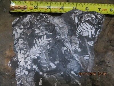 Beautiful 3-Fern Plant Fossil on Black Shale, Carboniferous 300 Mill Yrs Old