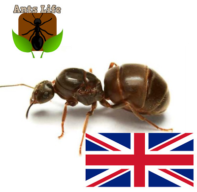 Queen ant with brood