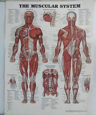 Laminated Anatomy Poster - The Muscular System