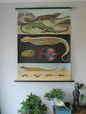 Vintage Jung Koch Quentell Pull Roll Down School Wall Chalk Chart Of Lizards